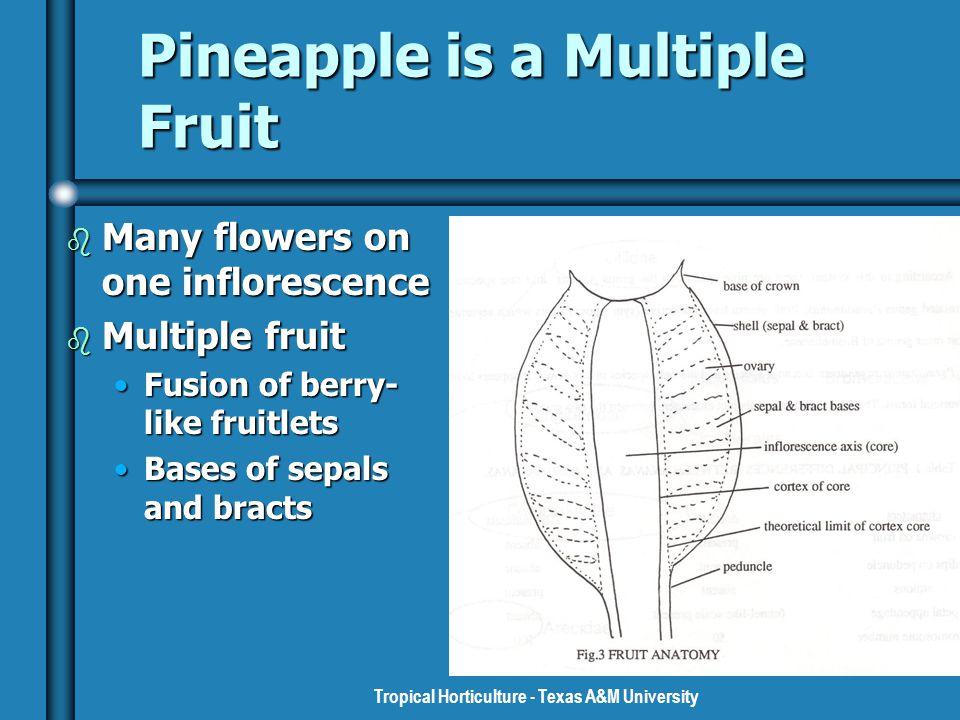 Pineapples Family Bromeliaceae Genus Ananas Species comosus. - ppt ...