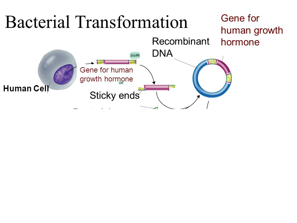 Human Cell Gene for human growth hormone Recombinant DNA Gene for human growth hormone Sticky ends Plasmid Bacterial chromosome Section 13-3 Go to Section: Bacterial Transformation