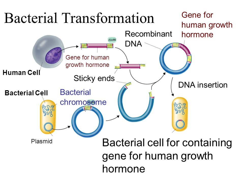 Human Cell Gene for human growth hormone Recombinant DNA Gene for human growth hormone Sticky ends DNA insertion Bacterial Cell Plasmid Bacterial chromosome Bacterial cell for containing gene for human growth hormone Section 13-3 Go to Section: Bacterial Transformation