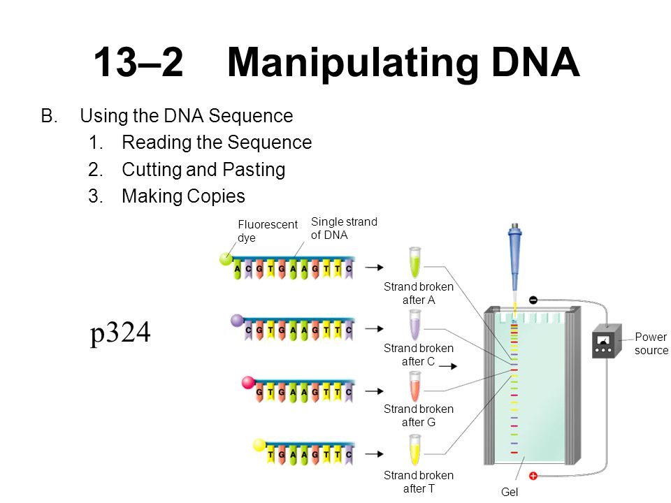 13–2Manipulating DNA B.Using the DNA Sequence 1.Reading the Sequence 2.Cutting and Pasting 3.Making Copies Fluorescent dye Single strand of DNA Strand broken after A Strand broken after C Strand broken after G Strand broken after T Power source Gel p324