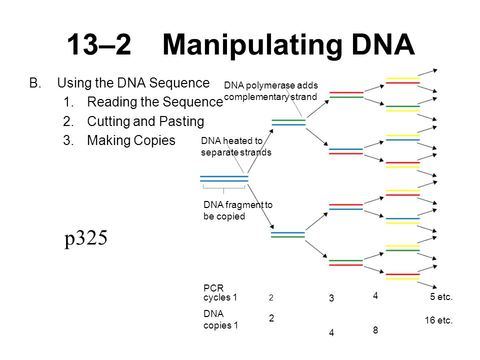 13–2Manipulating DNA B.Using the DNA Sequence 1.Reading the Sequence 2.Cutting and Pasting 3.Making Copies p325 DNA polymerase adds complementary strand DNA heated to separate strands DNA fragment to be copied PCR cycles 1 DNA copies etc.