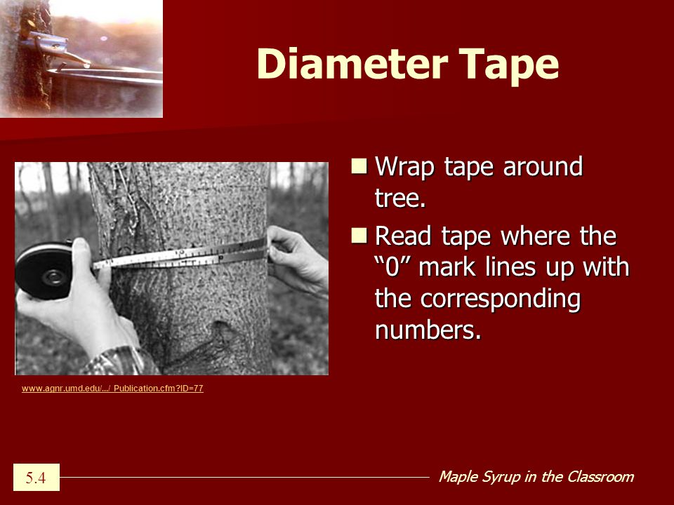 Maple Syrup in the Classroom Diameter Tape Wrap tape around tree.