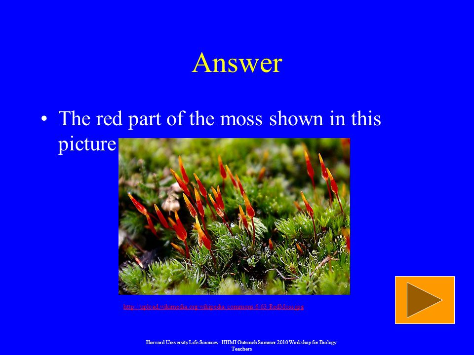 Answer The red part of the moss shown in this picture   Harvard University Life Sciences - HHMI Outreach Summer 2010 Workshop for Biology Teachers