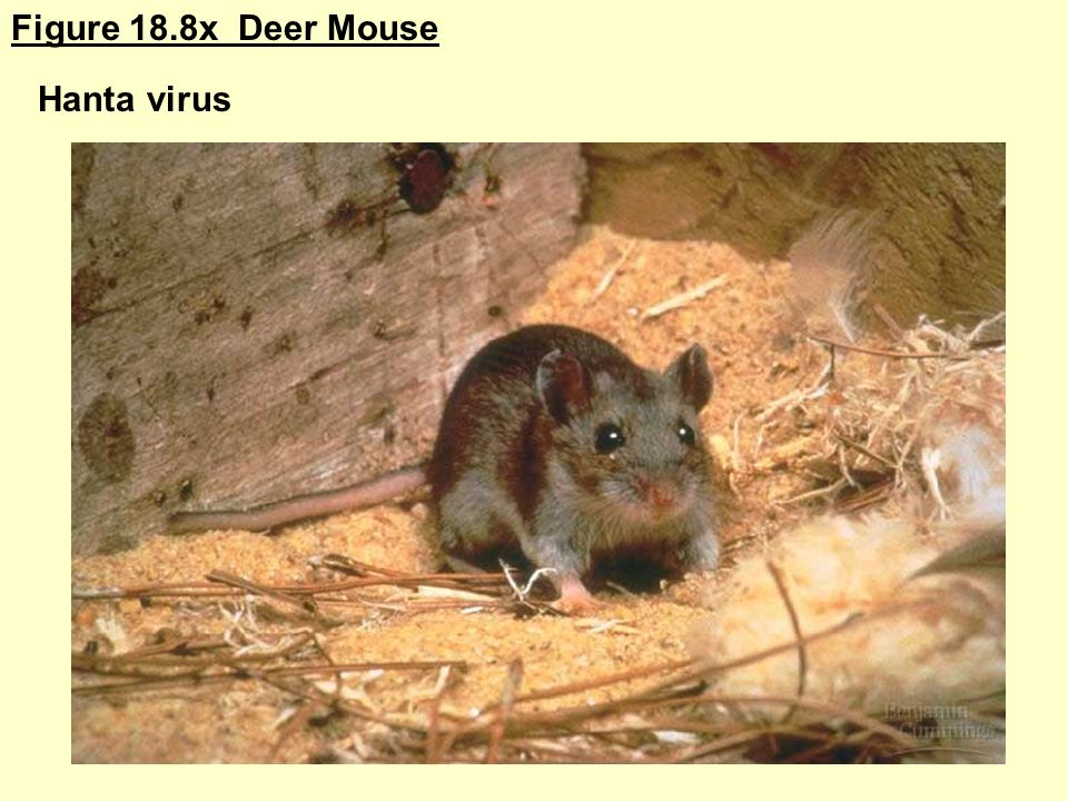 Figure 18.8x Deer Mouse Hanta virus