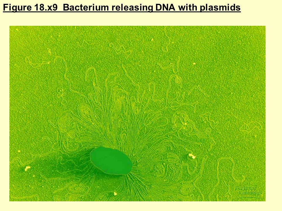 Figure 18.x9 Bacterium releasing DNA with plasmids