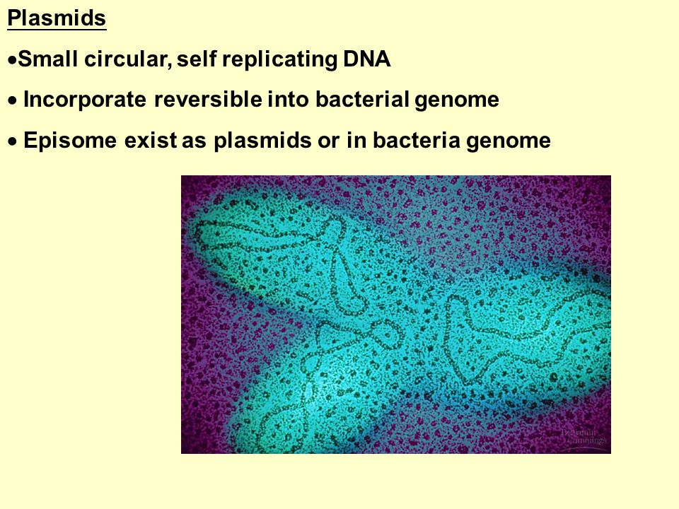 Plasmids  Small circular, self replicating DNA  Incorporate reversible into bacterial genome  Episome exist as plasmids or in bacteria genome