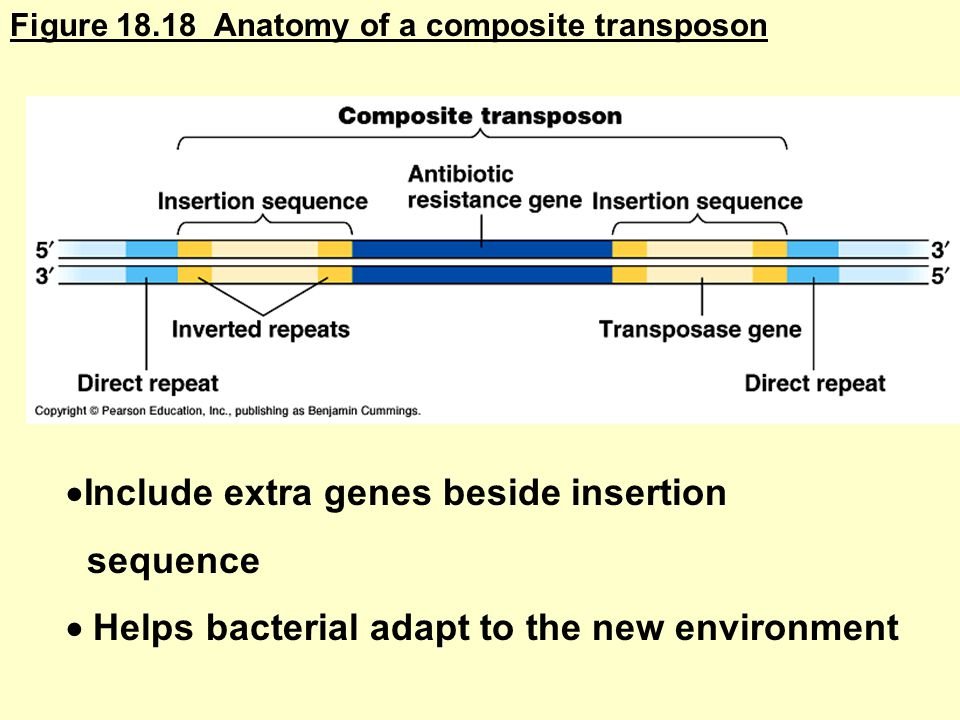 Figure Anatomy of a composite transposon  Include extra genes beside insertion sequence  Helps bacterial adapt to the new environment