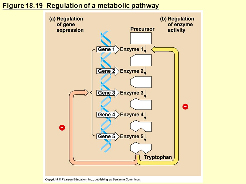Figure Regulation of a metabolic pathway