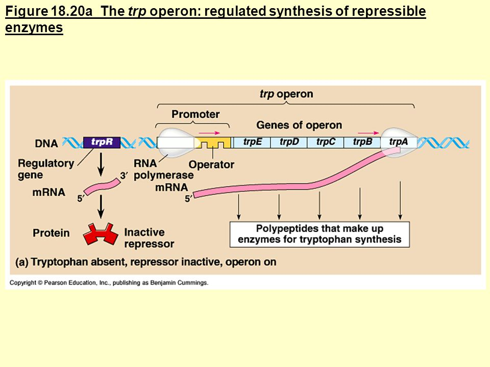 Figure 18.20a The trp operon: regulated synthesis of repressible enzymes