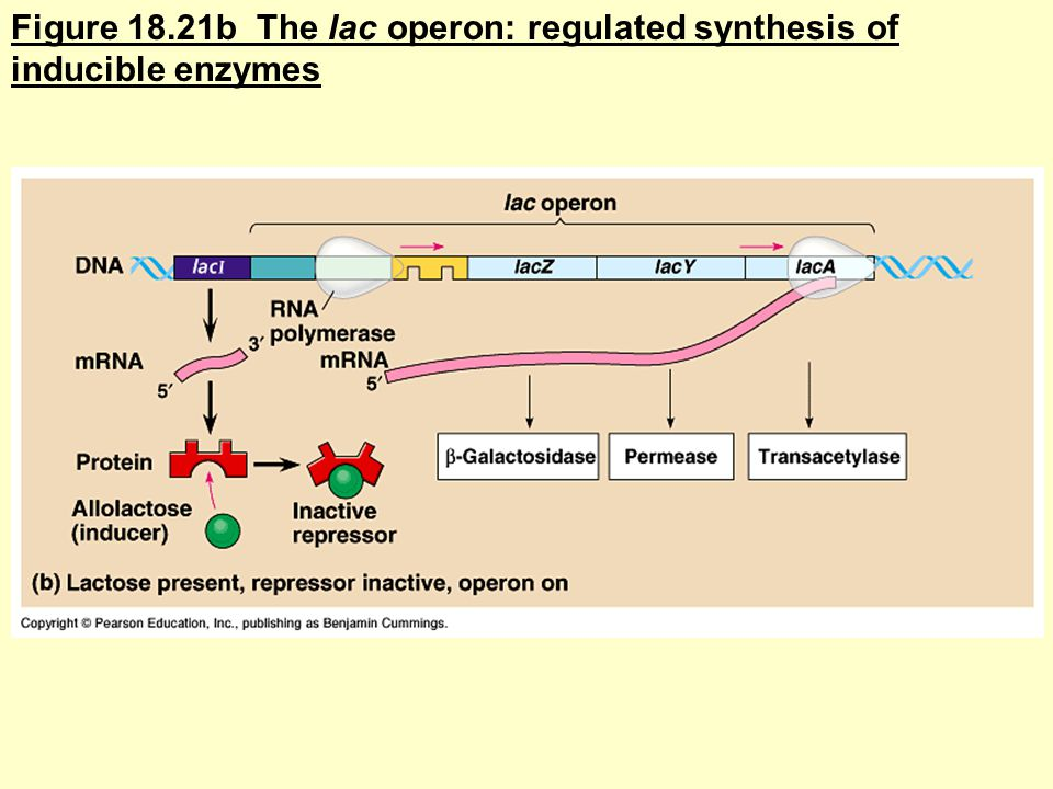 Figure 18.21b The lac operon: regulated synthesis of inducible enzymes