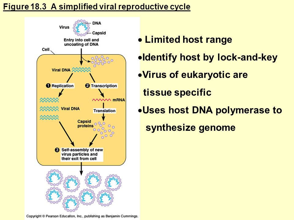 Figure 18.3 A simplified viral reproductive cycle  Limited host range  Identify host by lock-and-key  Virus of eukaryotic are tissue specific  Uses host DNA polymerase to synthesize genome