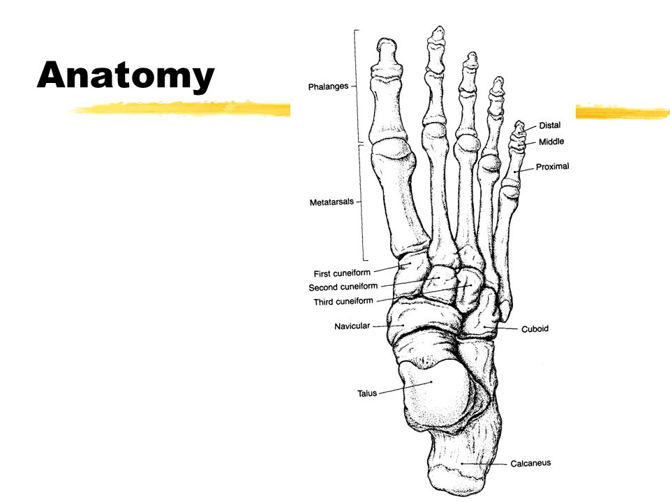Foot & Ankle. Anatomy Anatomy - Medial Anatomy - Lateral. - ppt download