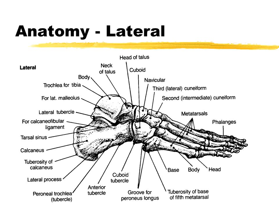 Foot Ankle Anatomy Anatomy Medial Anatomy Lateral Ppt Download