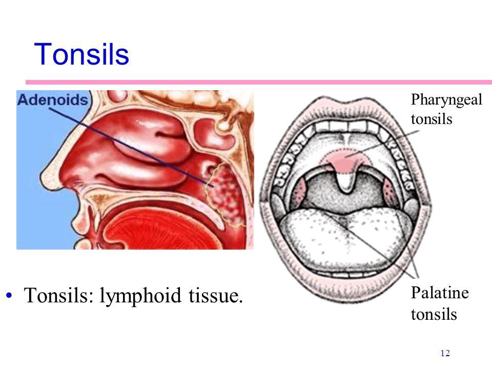 Enchanting Palatine Tonsil Anatomy Collection - Anatomy And ...