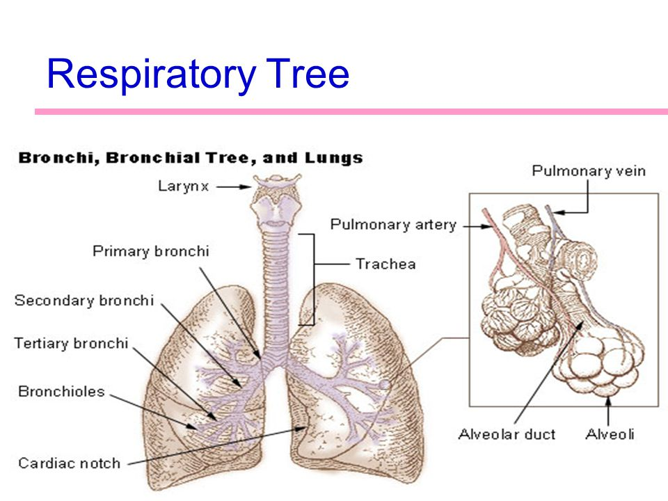1 Lab Activity 27 Anatomy of the Respiratory System Portland ...