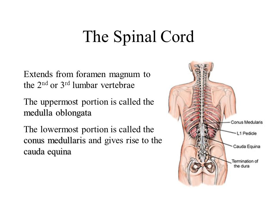 The Spinal Cord Extends from foramen magnum to the 2 nd or 3 rd lumbar vertebrae medulla oblongata The uppermost portion is called the medulla oblongata conus medullaris cauda equina The lowermost portion is called the conus medullaris and gives rise to the cauda equina
