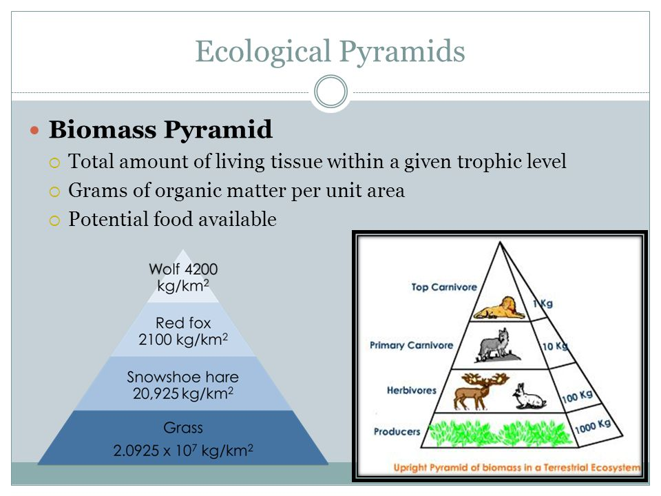Ecological Pyramids Biomass Pyramid  Total amount of living tissue within a given trophic level  Grams of organic matter per unit area  Potential food available