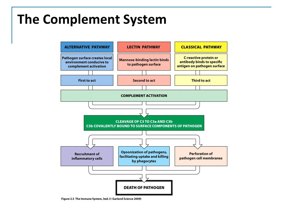 the complement system in immune systems biology essay The complement system is one of the subject in which we provide homework and assignment help our feature includes 24x7 live online statistics tutors available to.