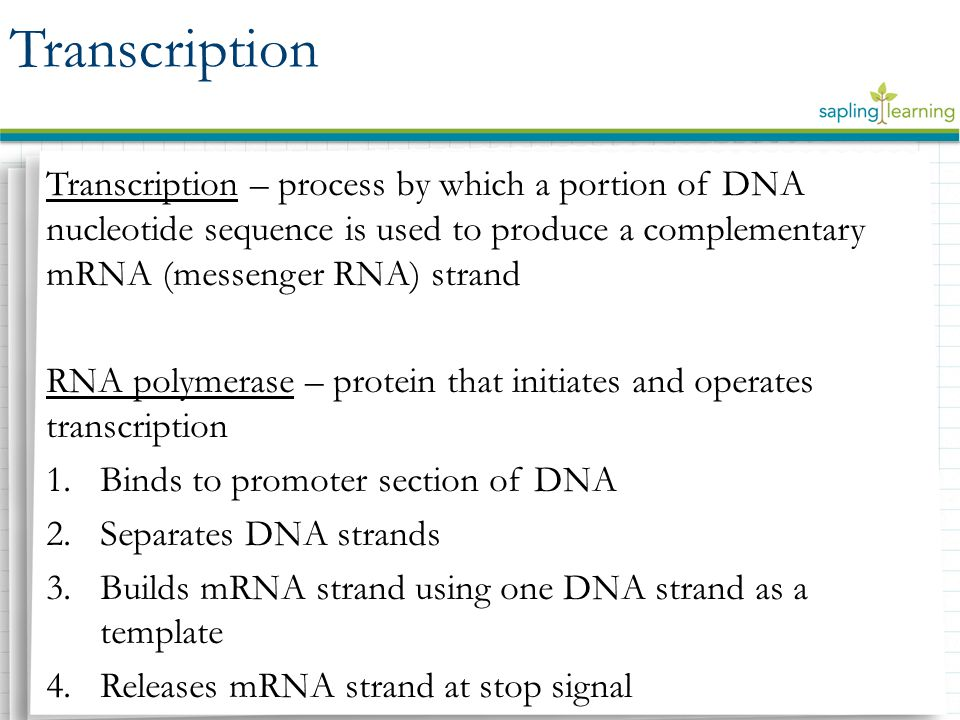 Transcription – process by which a portion of DNA nucleotide sequence is used to produce a complementary mRNA (messenger RNA) strand RNA polymerase – protein that initiates and operates transcription 1.Binds to promoter section of DNA 2.Separates DNA strands 3.Builds mRNA strand using one DNA strand as a template 4.Releases mRNA strand at stop signal Transcription
