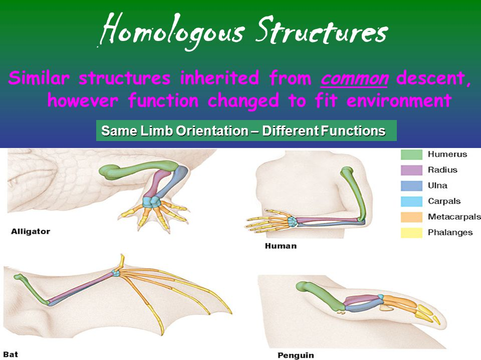 Comparative Anatomy Vestigial Structures –Inherited structure from ancestor, however no longer uses structure