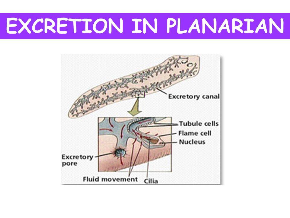 Excretion In Planaria Diagram Wire Data Schema