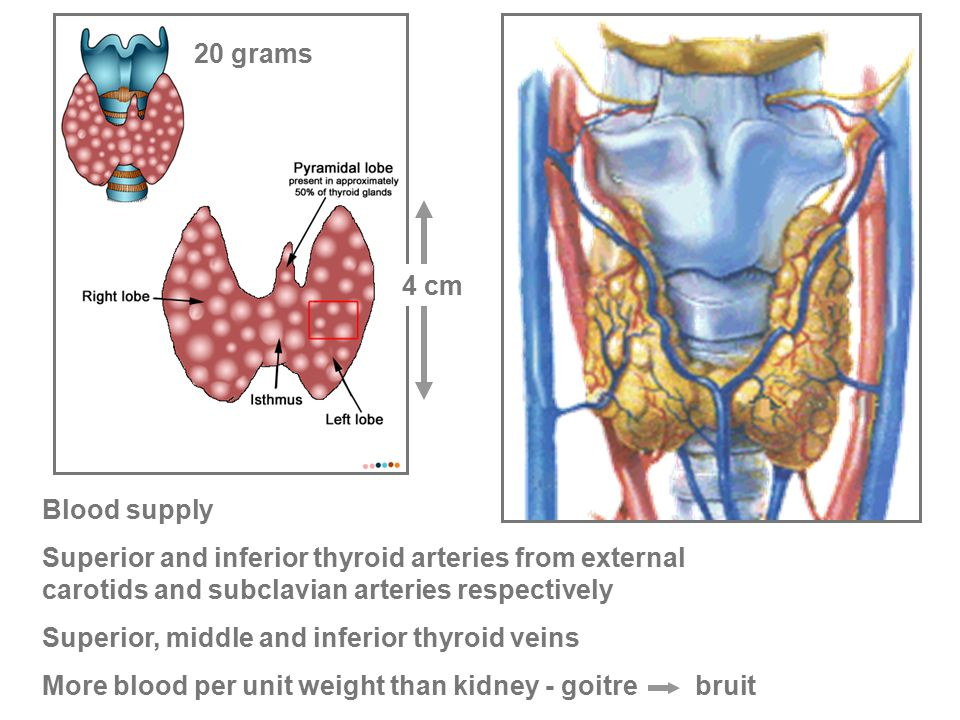 Endo 1.08 The thyroid gland Gross anatomy and histology of the ...