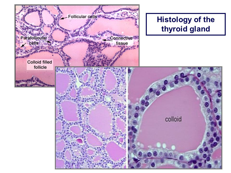 Endo 108 The Thyroid Gland Gross Anatomy And Histology Of The