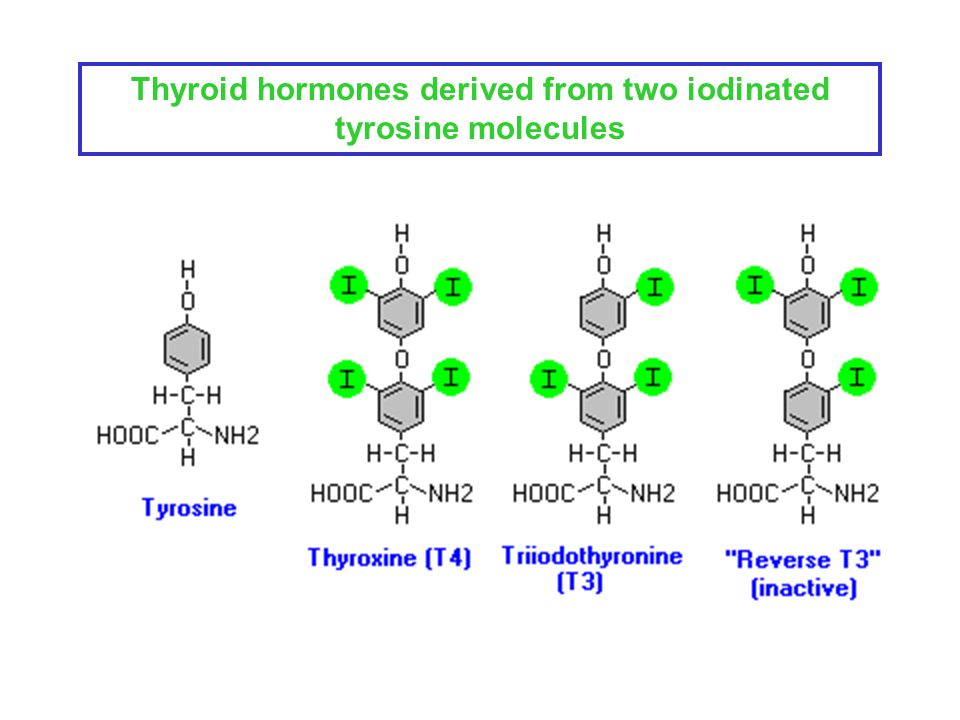Endo 1 08 The Thyroid Gland Gross Anatomy And Histology Of The Thyroid Gland Thyroid Hormone Synthesis Thyroid Hormone Secretion Peripheral Conversion Ppt Download