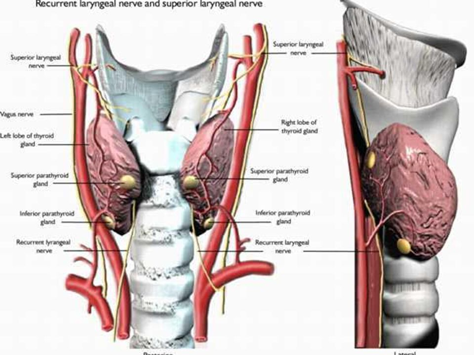 Surgical Anatomy Thyroid And Parathyroid Glands Ppt Video Online