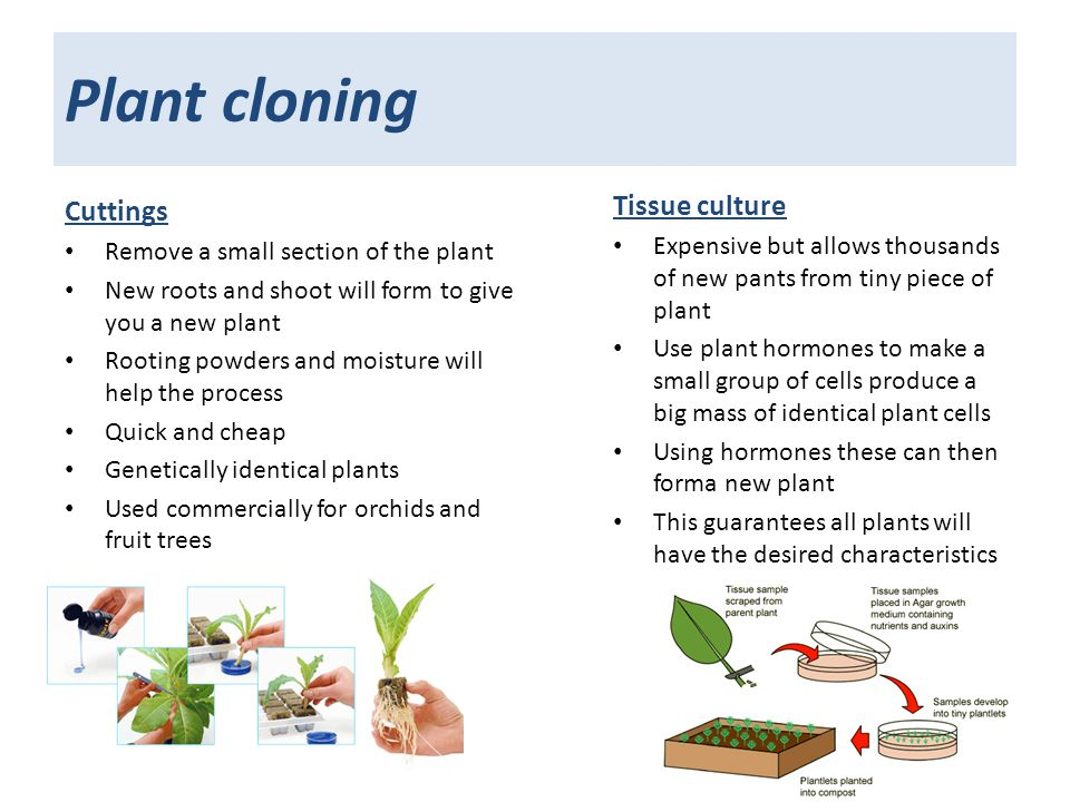 cloning in plants animals Cloning in plants & animals essay introduction cloning has been going on in the natural world for thousands of years a clone is simply one living thing made from another, leading to two organisms with the same set of genes in that sense, identical twins are clones, because they have identical dna.