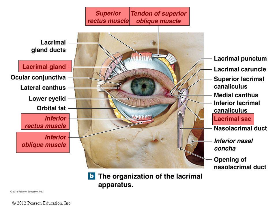 Lacrimal Apparatus Anatomy Gallery - human body anatomy