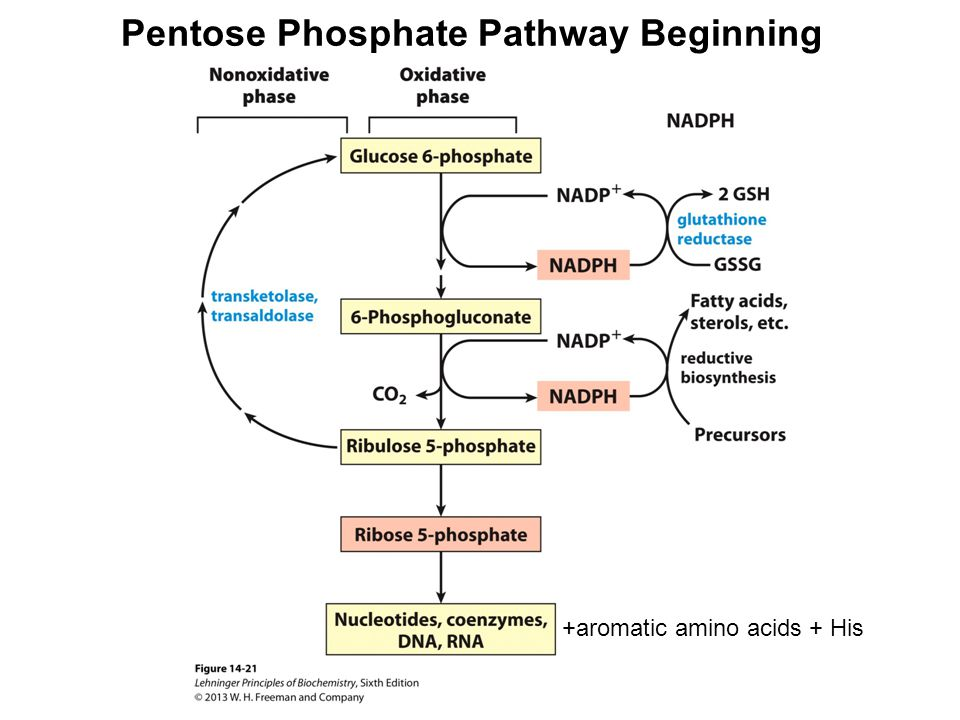 Glycolysis Gluconeogenesis And The Pentose Phosphate Pathway Part