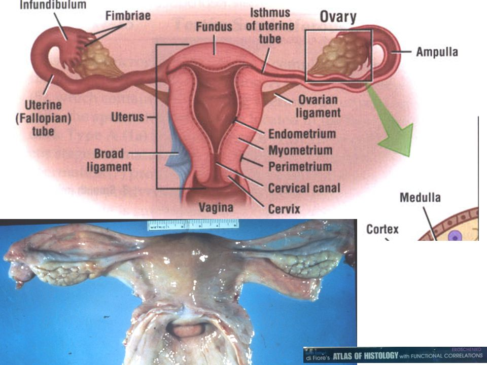 female reproductive apparatus internal female genital organs organa genitalia feminina interna the various organs in the female that are concerned with reproduction