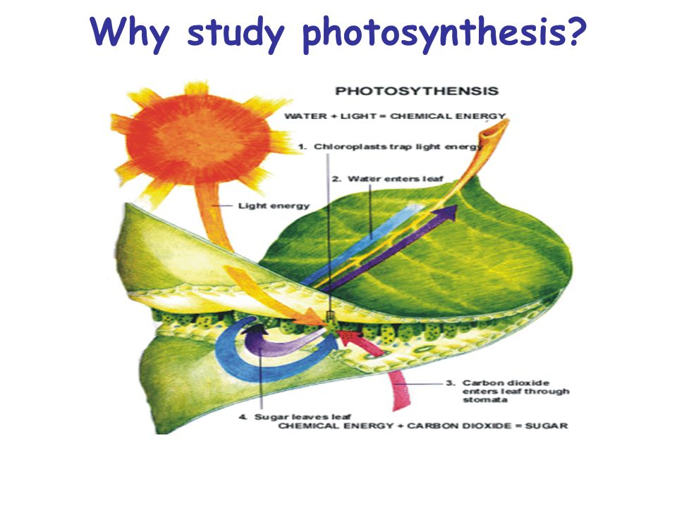 Why study photosynthesis