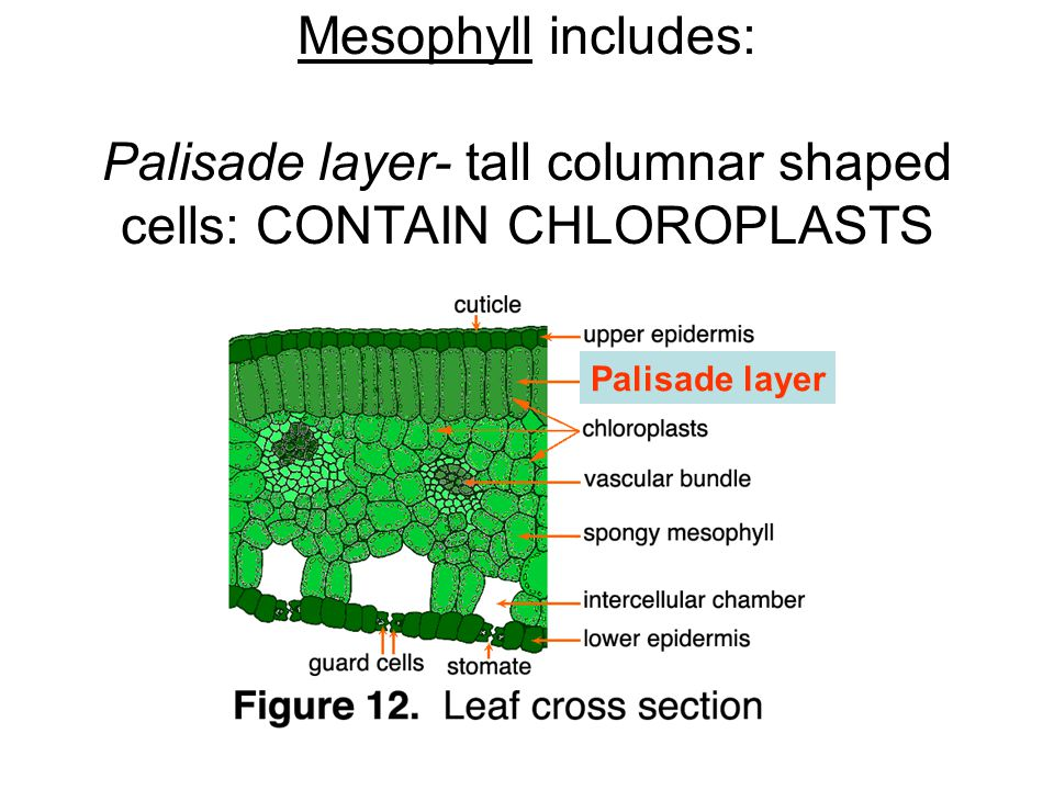 Mesophyll includes: Palisade layer- tall columnar shaped cells: CONTAIN CHLOROPLASTS Palisade layer
