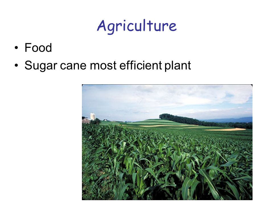 Agriculture Food Sugar cane most efficient plant