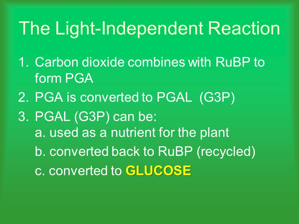 The Light-Independent Reaction 1.Carbon dioxide combines with RuBP to form PGA 2.PGA is converted to PGAL (G3P) 3.PGAL (G3P) can be: a.