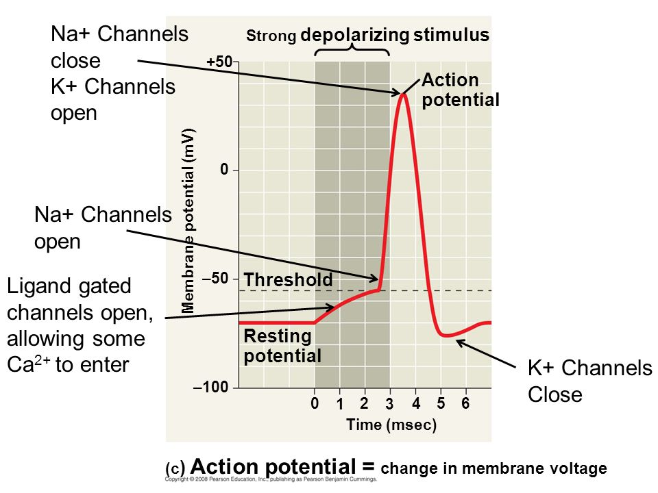 Strong depolarizing stimulus +50 Membrane potential (mV) –50 Threshold Resting potential – Time (msec) (c ) Action potential = change in membrane voltage Action potential 6 K+ Channels Close Na+ Channels close K+ Channels open Na+ Channels open Ligand gated channels open, allowing some Ca 2+ to enter