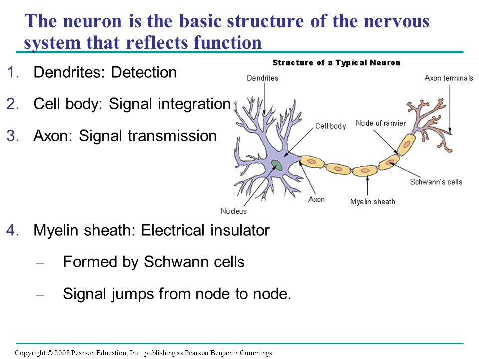 Copyright © 2008 Pearson Education, Inc., publishing as Pearson Benjamin Cummings The neuron is the basic structure of the nervous system that reflects function 1.Dendrites: Detection 2.Cell body: Signal integration 3.Axon: Signal transmission 4.Myelin sheath: Electrical insulator – Formed by Schwann cells – Signal jumps from node to node.