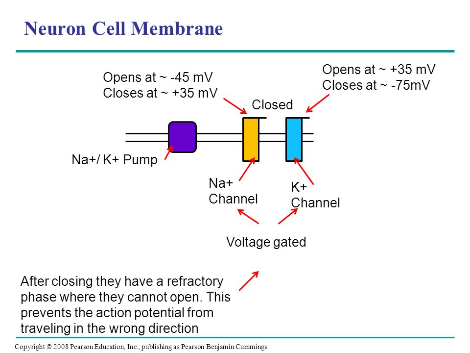 Copyright © 2008 Pearson Education, Inc., publishing as Pearson Benjamin Cummings Neuron Cell Membrane Na+/ K+ Pump Na+ Channel K+ Channel Voltage gated Closed Opens at ~ -45 mV Closes at ~ +35 mV Opens at ~ +35 mV Closes at ~ -75mV After closing they have a refractory phase where they cannot open.