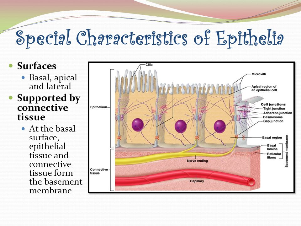 epithelial tissue characteristics Histology epithelial tissue 1 histology the study of tissues 14 stratified squamous epithelial characteristics:  many layers becoming flatter from basal to stratified layers apical.