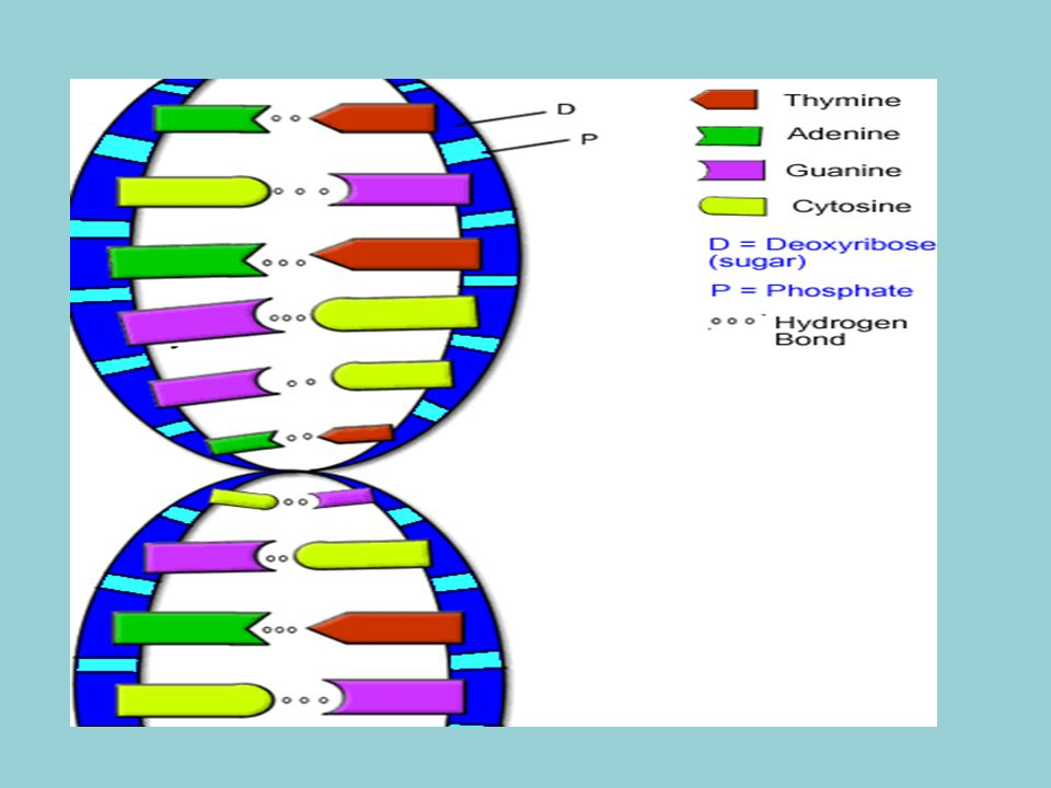 Warm-Up Where is DNA found? What is DNA? - ppt video online download