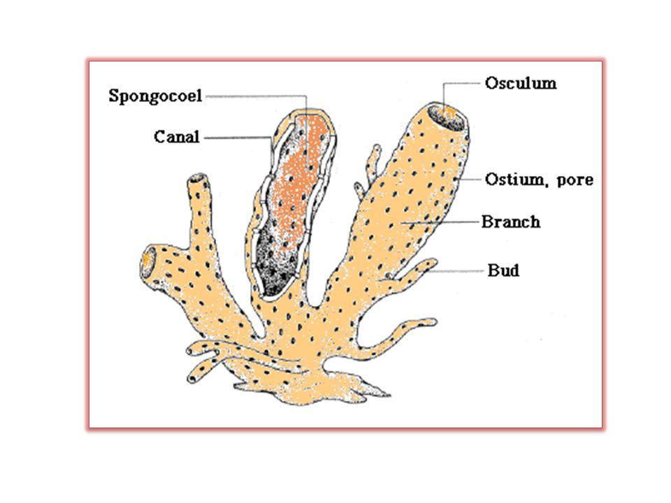 Tube Sponge Diagram Labeled Illustration Of Wiring Diagram