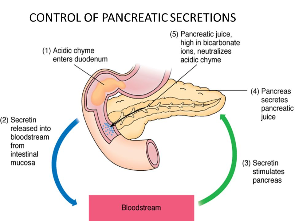 Pancreatic Secretions The Pancreas Acts As An Exocrine Gland By