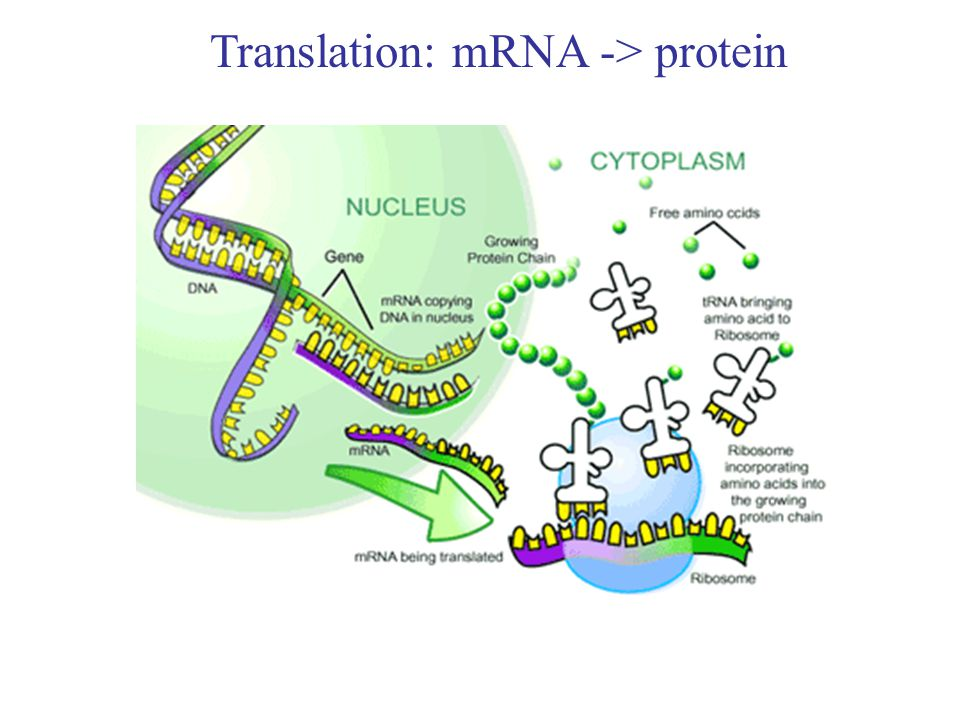 Translation: mRNA -> protein