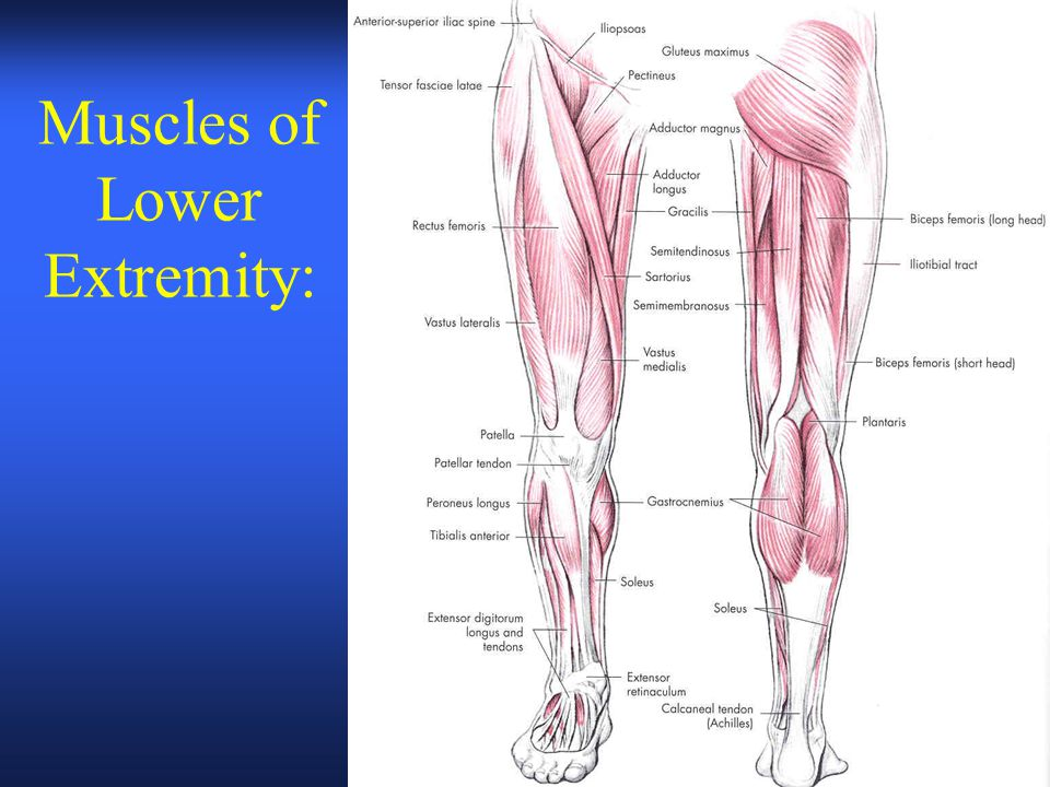 Muscles And Movements Of Lower Extremity Ch 8 Objectives Explain