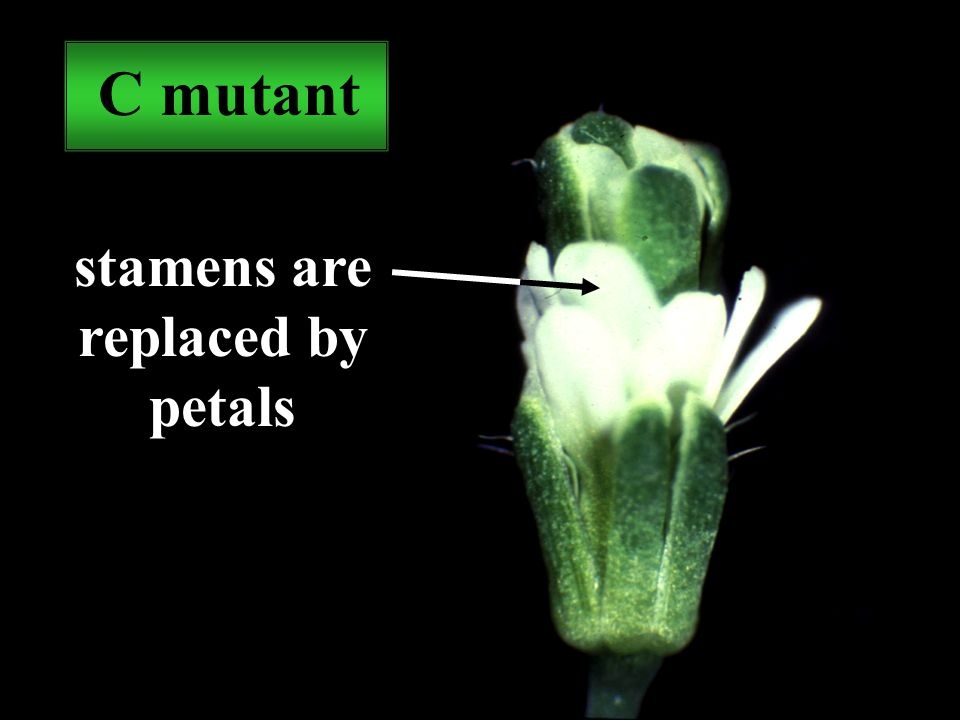 C mutant stamens are replaced by petals