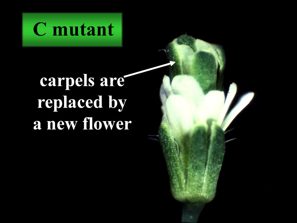 C mutant carpels are replaced by a new flower