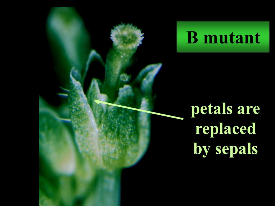 B mutant petals are replaced by sepals