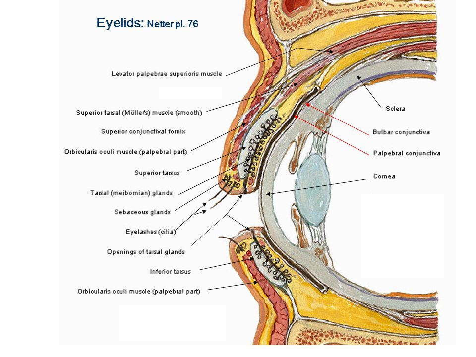 Cns Sequence Eye And Ear Lab March 18 Eyelids Netter Pl Ppt Download